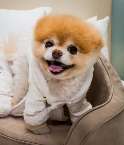 O cão considerado o amis bonito do mundo é da raça lulu da pomerânia. (Foto: RTNKabik / MediaPunch / IPx)