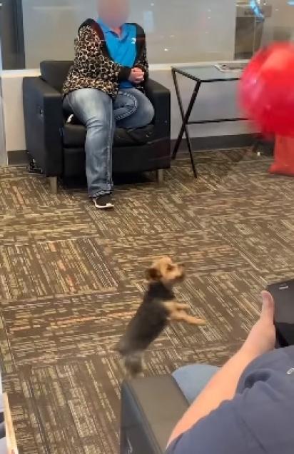 Cachorrinho se diverte com o balão e alegra quem estava na sala de espera. (Foto: Reprodução Facebook/ViralHog)