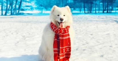 Aventureiros adquiriram alguns desses cães para ajudá-los em expedições para os pólos Norte e Sul. (Foto: Reprodução/ISTOCK)