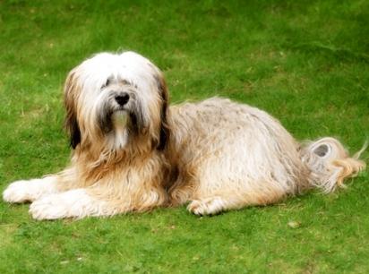 Cão da raça Terrier Tibetano. (Foto: Reprodução / Purina UK)