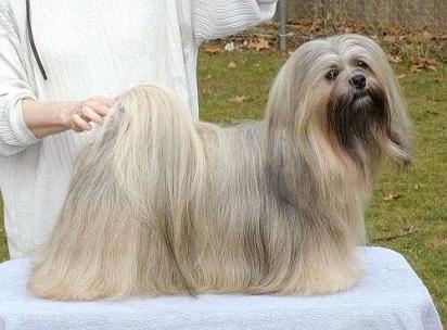 Cão da raça Lhasa Apso. (Foto: Reprodução / Purina UK)