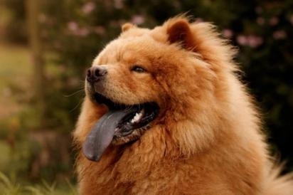 Cão da raça Chow Chow. (Foto: Reprodução / Purina UK)