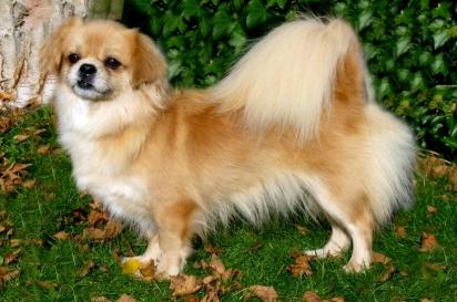 Cão da raça Spaniel tibetano. (Foto: Reprodução / Purina UK)