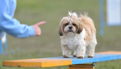 Cão da raça Shih Tzu. (Foto: Reprodução / Purina UK)