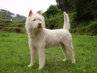 Cão da raça Xiasi Quan. (Foto: Reprodução / Purina UK)