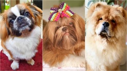 Raças de cães que surgiram na China. (Foto: Instagram/duque_pequines | Instagram/comamor.amorashitzu | Instagram/chowchow_thesimba)