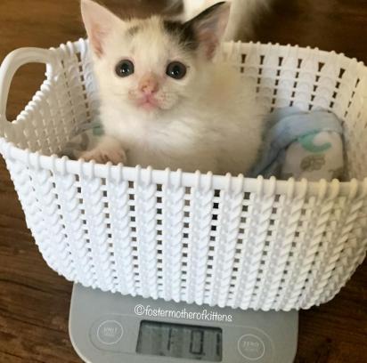 Com muito cuidado e amor a gatinha foi ganhando peso. (Foto: Instagram/fostermotherofkittens)