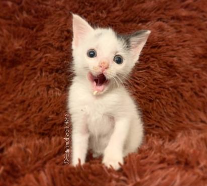 A gatinha estará pronta para adoção quando atingir 2Kg. (Foto: Instagram/fostermotherofkittens)