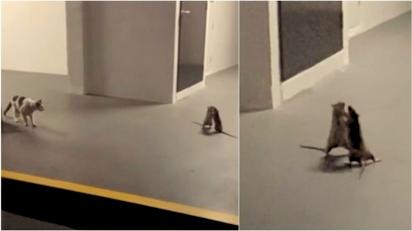 Ratos entram em luta corporal enquanto gato os observa confuso. (Foto: Reprodução Facebook/Cheez Goh)