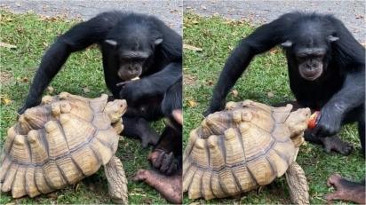 Em gesto solidário chimpanzé divide a sua comida, alimentando tartaruga na boca. (Foto: TikTok/@mokshabybee)