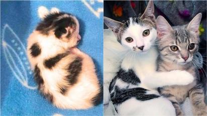 Gatinhas fazem amizade e se tornam inseparáveis. (Foto: Facebook/@Rescuechatonsmontrea)