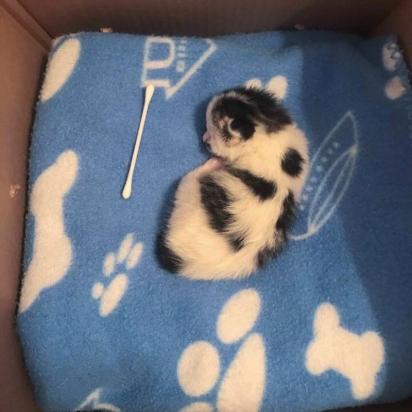 A gatinha Lou chegou no abrigo um pouco maior que um cotonete. (Foto: Facebook/@Rescuechatonsmontrea)
