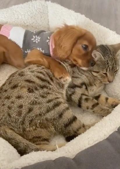 O cão Albi e o gato Teddy se tornaram amigos logo que se conheceram. (Foto: TikTok/@teddyandalbiofficial)
