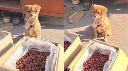 Cachorro é visto cuidando sozinho dos produtos em feira na China enquanto o dono está ausente. (Foto: Douyin/OURAN)