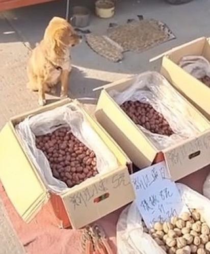 O cão de sete meses estava ajudando seu dono a cuidar das tâmaras vermelhas e nozes em uma feira na China no início deste mês. (Foto: Douyin/OURAN)