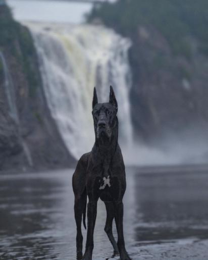 Enzo é um cão gentil e amoroso. (Foto: Instagram/enzo.greatdane)