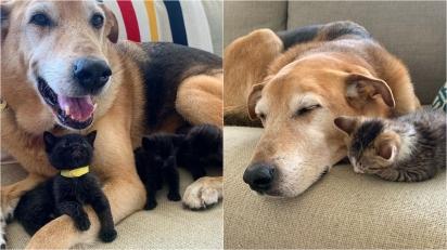 Cachorro de voluntária cuida de gatinhos acolhidos como se fossem seus próprios filhotes. (Foto: Instagram/raylan_the_dog)