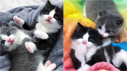 Irmãos gatinhos que foram abandonados pela mãe são resgatados, adotados e permanecem unidos. (Foto: Instagram/tinybutmightykittenrescue)