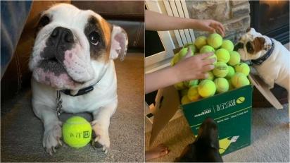 Buldogue ignora encomenda de 350 bolas de tênis e prefere brincar com a caixa. (Foto: Arquivo Pessoal/Katie Swartout)