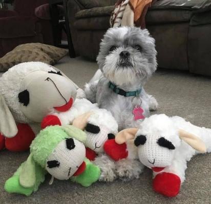 Murphy, agora mais velho, continua com o mesmo amor pelos seus brinquedos. (Foto: Emily Huggins via Dogspotting Society)