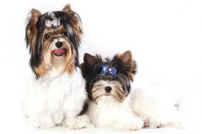 A raça mantêm uma atitude encantadora e excêntrica até a idade adulta. (Foto: Biewer Terrier Club of America and AKC)