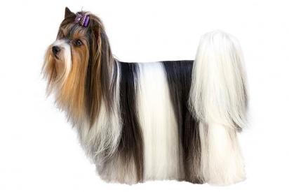 A raça é elegante, de pelo comprido e tricolor, cujo único propósito na vida é amar e ser amado. (Foto: Biewer Terrier Club of America and AKC)