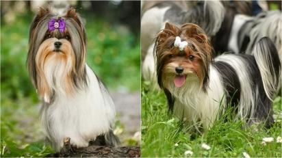 Conheça o Terrier Biewer, nova raça de cães oficialmente reconhecida pelo AKC. (Foto: Biewer Terrier Club of America and AKC)