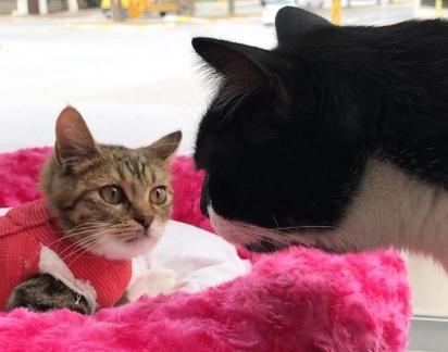 Ao ser adotada a gatinha já fez amizade com o gato Hayko, que possui paralisia da cintura para baixo. (Foto: Instagram/zikrettinn)
