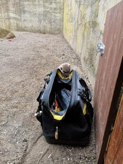 Os suricatos estavam determinados em vasculhar a maleta. (Foto: Twitter/@doodlingglass)