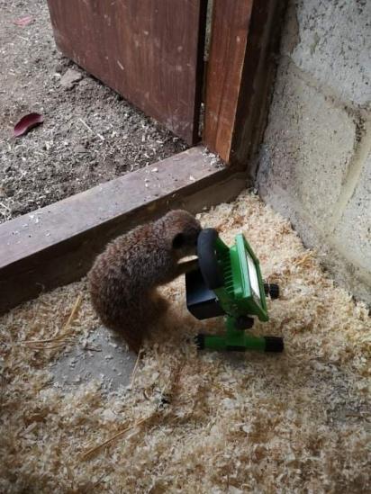 O suricato se interessou na lanterna do eletricista. (Foto: Twitter/@doodlingglass)