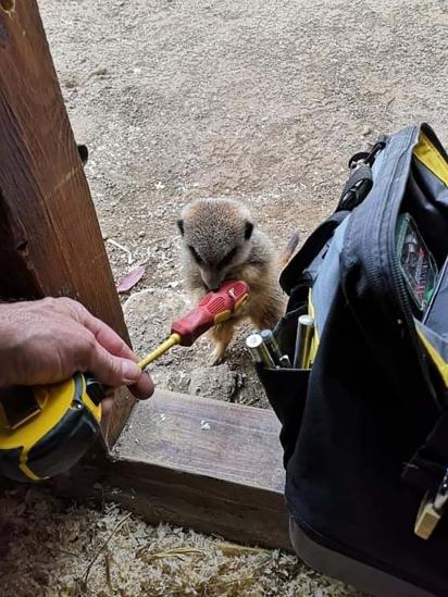 Um dos suricatos alcançou a chave philips para o eletricista. (Foto: Twitter/@doodlingglass)