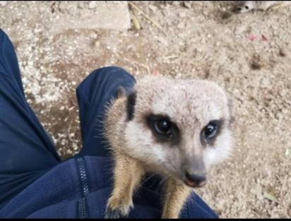 Os suricatos são animais fofos e curiosos. (Foto: Twitter/@doodlingglass)