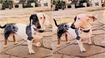 Cachorro dachshund viraliza no TikTok por ter metade dos pelos brancos e a outra metade mesclada. (Foto: Reprodução TikTok/@cao.drogo)