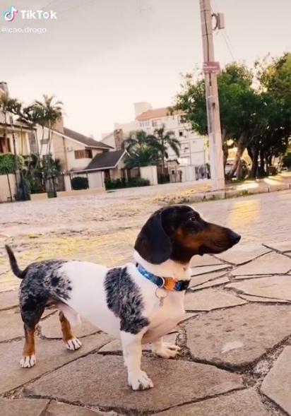 Os vídeos do pequeno dachshund tem feito sucesso no TikTok. (Foto: Reprodução TikTok/@cao.drogo)