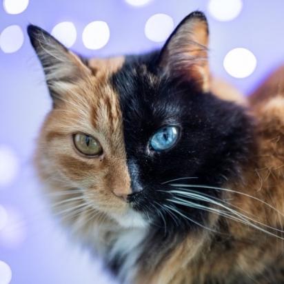 Gato com duas caras. (Foto: Instagram/gataquimera)