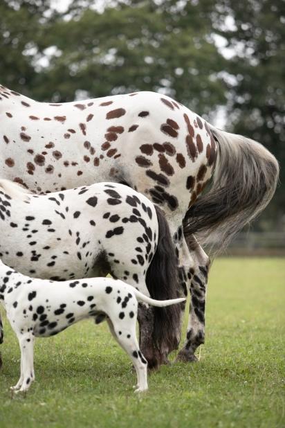 A proprietária disse que frequentemente as pessoas se referem ao filme 101 Dálmatas quando veem os animais dela. (Foto: Caters News Agency)