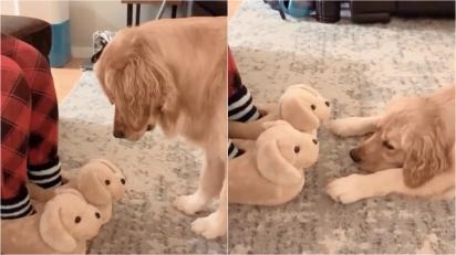 Golden retriever não consegue decidir se pantufas da mamãe são cães reais ou impostores. (Foto: Reprodução Instagram/missgoldenmolly)