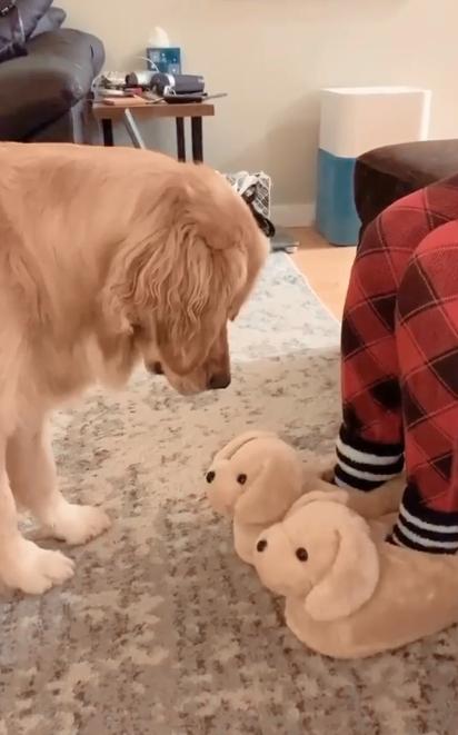 A Golden Retriever de dois anos, Molly, ficou confusa com os chinelos em forma de cachorro. (Foto: Reprodução Instagram/missgoldenmolly)