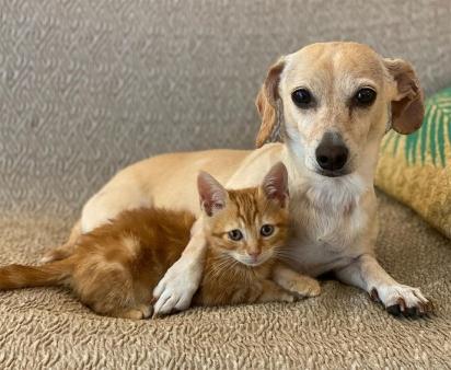 A cadela Kona ama gatinhos e ajuda a sua dona a cuidar dos filhotes enquanto aguardam um lar definitivo. (Foto: Instagram/shibuyarollcall)
