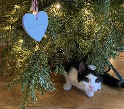 DArtagnan é um gatinho travesso que adorou destruir sua árvore de Natal. (Foto: Instagram/Battersea Dogs and Cats Home)