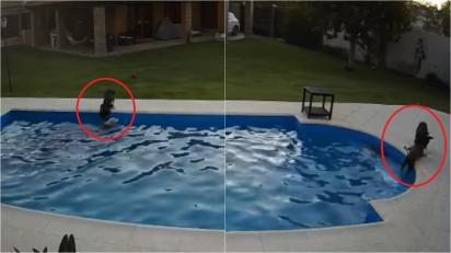 Cadelinha salva sua irmã idosa de 14 anos que caiu na piscina de casa e estava se afogando. (Foto: Arquivo Pessoal/Julieta Firpo)