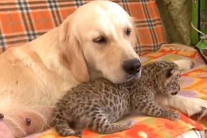 A filhote de leopardo foi rejeitada pela própria mãe e a golden retriever a acolhe como se fosse sua. (Foto: Reprodução Facebook/VIX Pop Brasil)