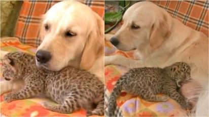Cadela golden retriever acolhe filhote de leopardo que foi rejeitada pela própria mãe. (Foto: Reprodução Facebook/VIX Pop Brasil)