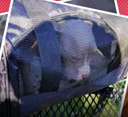 Escoteiros encontram filhote de pit bull abandonada dentro de uma mala em matagal. (Foto: Reprodução/The Dodo)