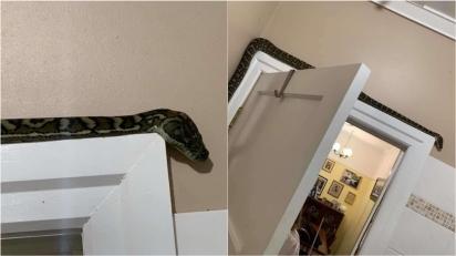 Cobra píton é encontrada em banheiro de família na Austrália. (Foto: SNAKE CATCHERS BRISBANE & GOLD COAST)