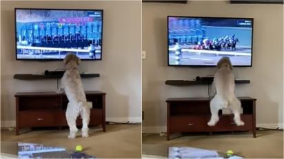 Cadela viraliza ao vibrar entusiasmada assistindo corrida de cavalo. (Foto: Reprodução Youtube/Madison Coates)
