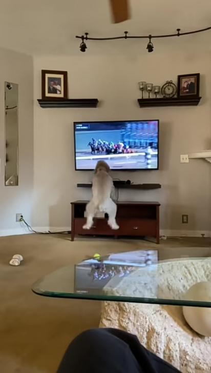Ao dar a largada a cachorrinha vibra assistindo na tv a corrida de cavalos. (Foto: Reprodução Youtube/Madison Coates)