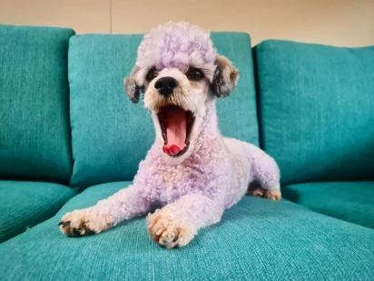 Ao usar o shampoo que prometia tirar o amarelado dos pelos o cãozinho ficou roxo. (Foto: Facebook/People & Puppers)