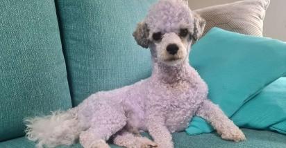 Foi preciso vários banhos e ainda assim o cachorrinho ainda está roxo. (Foto: Facebook/People & Puppers)