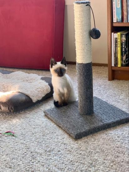 Logo que se socializou a gatinha foi encaminhada para um lar definitivo. (Foto: Arquivo Pessoal/Roz Westil)
